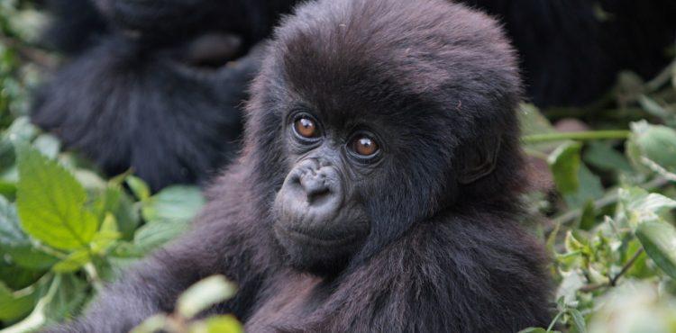 gorilla trekking rwanda beleefvakantie