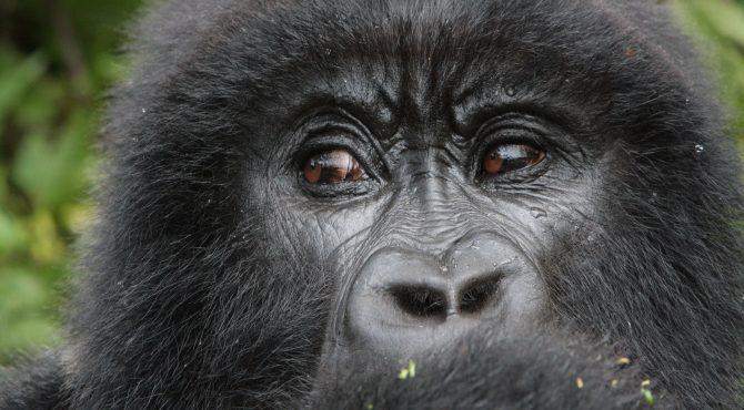 gorilla in de mist
