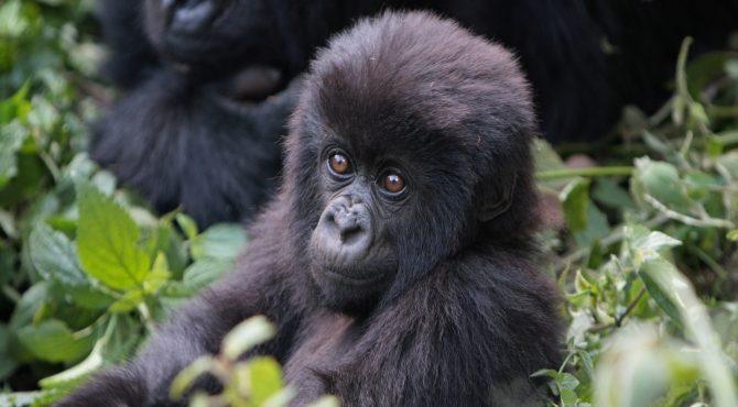 baby gorilla beleefvakantie afrika