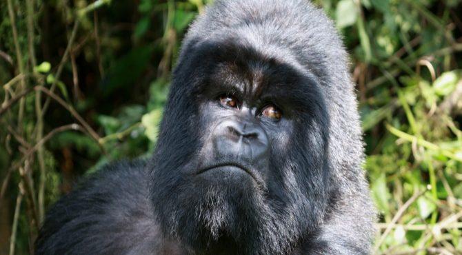 silverback gorilla oeganda beleefvakantie