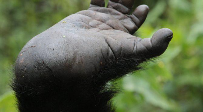 gorilla baby oeganda