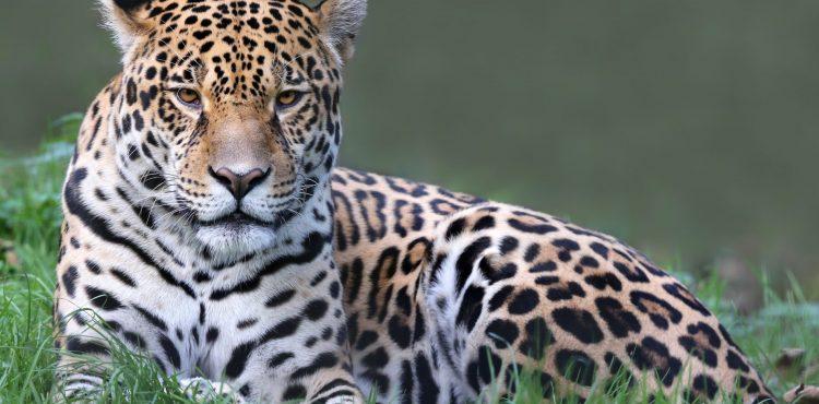 beleefvakantie jaguar brazilie